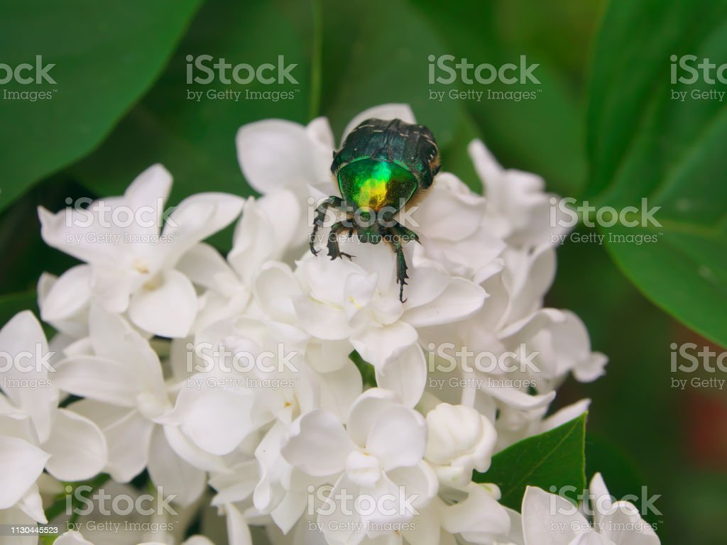 metallic green scarab beetle sitting on white lilac flower in blossom...