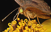 A brown butterfly with yellow-green eyes sips nectar from a yellow flower.