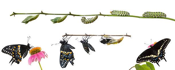 Metamorphosis of butterflies eastern black swallowtail papili picture id466196935?b=1&k=6&m=466196935&s=612x612&w=0&h=xgfxocjwdpgv8tkekp7m0ovjcgi1ll6tc3kcceet1og=