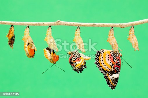 A composit of various views of a Leopard Lacewing Butterfly emerging from it's chrysalis