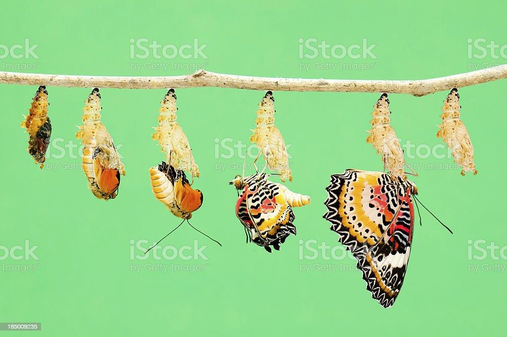 Metamorphosis of butterfly stock photo