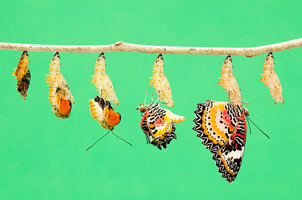 metamorphosis of butterfly - changing form stock pictures, royalty-free photos & images