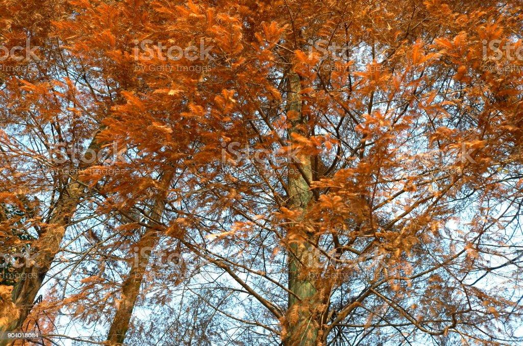 metasequoia glyptostroboides in autumn stock photo