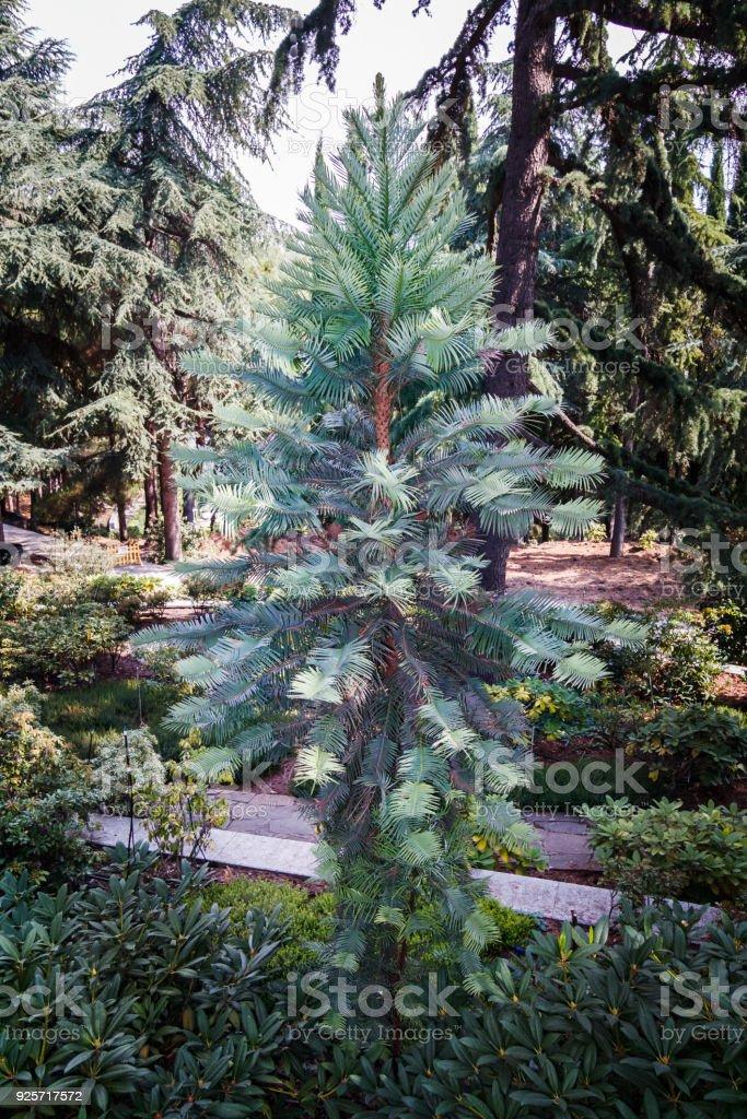 Metasequoia glyptostroboides stock photo