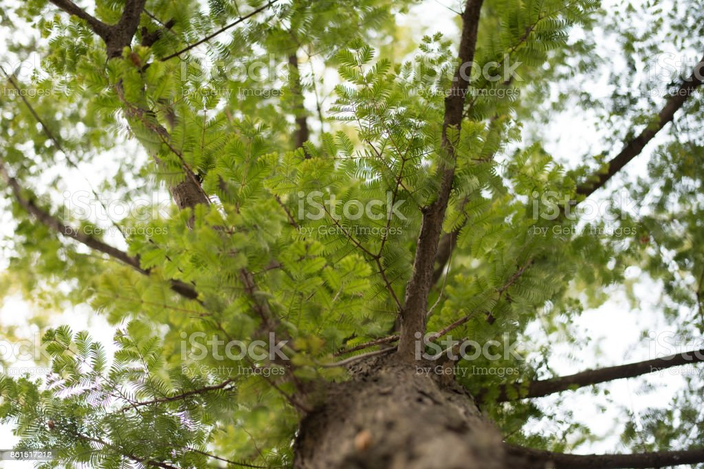 Metasequoia leaves stock photo