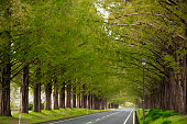 The tree‐lined road of metasequoia