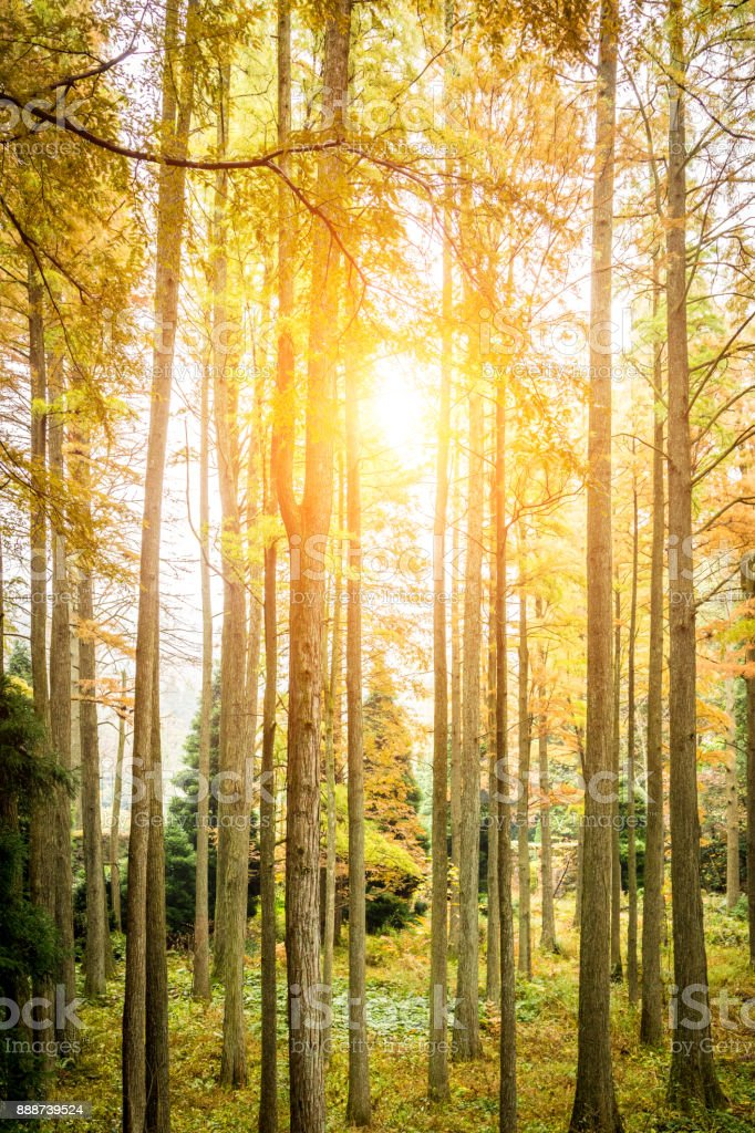 Metasequoia stock photo