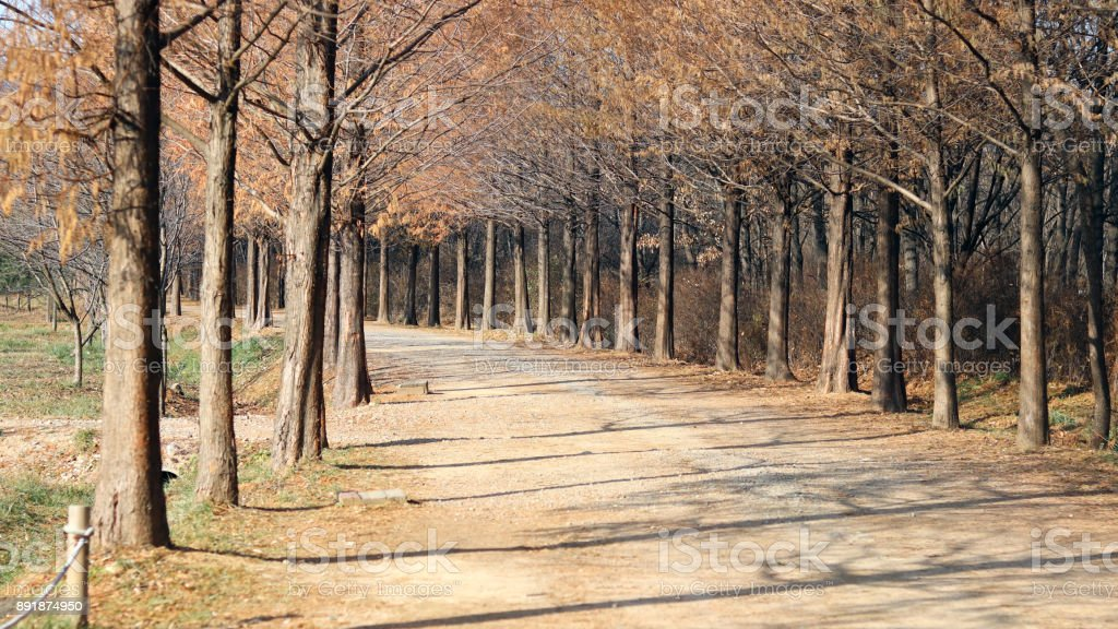 Metasequoia tree path. stock photo