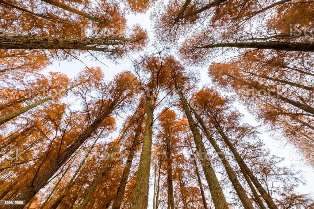 metasequoia woods in autumn stock photo