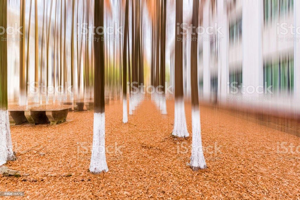 metasequoia woods in winter stock photo