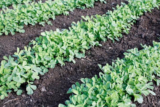 methi agriculture légumes - fenugrec photos et images de collection
