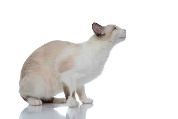 Metis cat with white fur sitting and ready to jump picture id1185395367?b=1&k=6&m=1185395367&s=612x612&w=0&h=egygcoijfz0 70yrj4kfgw fnryijr1pbg64qup0c o=