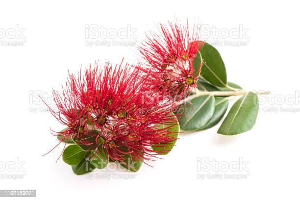 Metrosideros flowers picture id1162159221?b=1&k=6&m=1162159221&s=612x612&h=wwuo1cfkt5 lp7az3radmdrgvjhtnw2prsix5smhpp4=