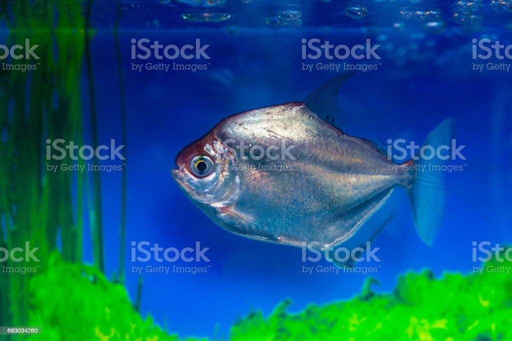 Metynnis silver, herbivorous piranha, fish-dollar Metynnis argenteus stock photo