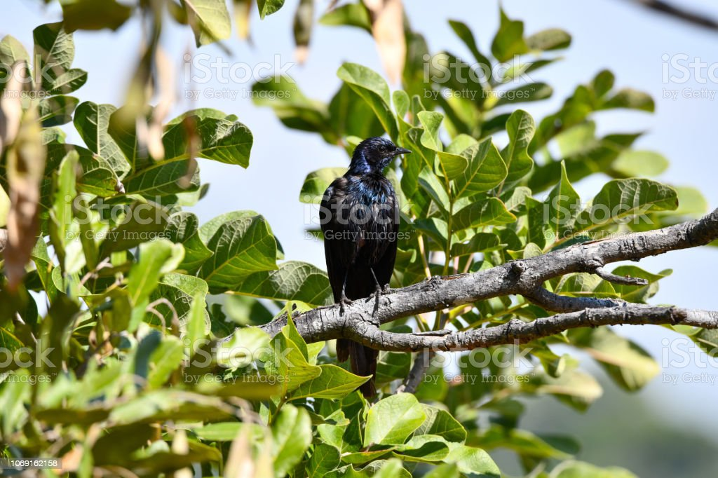 Meves Starling – Foto