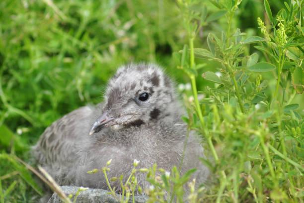 Mew Gull (Larus canus) chicks stock photo