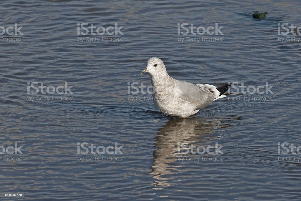 Mew Gull Standing in the Water royalty-free stock photo