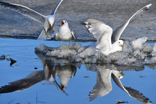 Mew gulls on ice stock photo