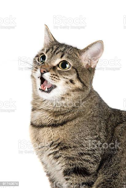 Mewing cat picture id91740674?b=1&k=6&m=91740674&s=612x612&h=vpbtzynpob vj5xja3ng1wr5la9bkeh28y10athcgds=