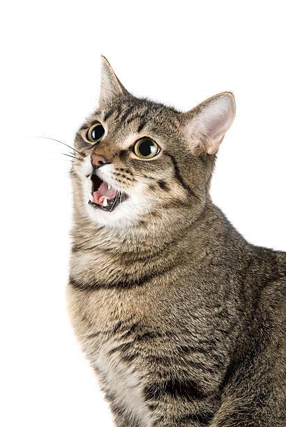 Mewing cat picture id91740674?b=1&k=6&m=91740674&s=612x612&w=0&h=vaeffudvtykq1lybz hezhp8nynom2nz8ihqiiry5ss=