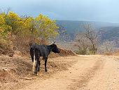 Brahman cattle eating grass in paddock, Australia.
