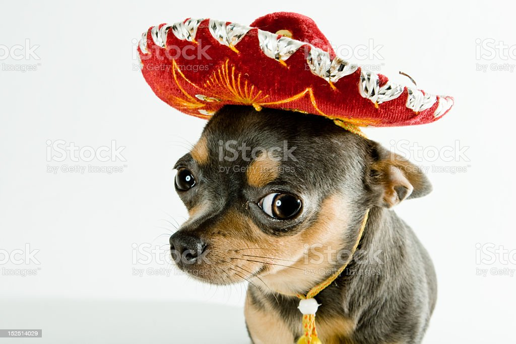 A mexican dog wearing a red hat stock photo