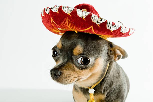 chien mexicain - chihuahua chien de race photos et images de collection