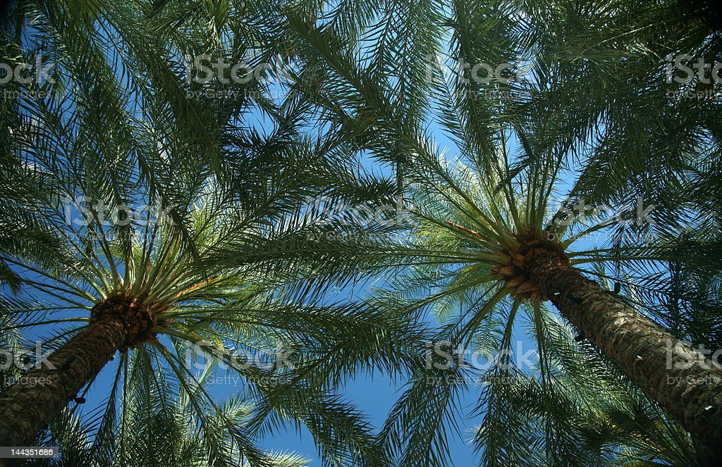 Mexican Fan Palms Canopy royalty-free stock photo