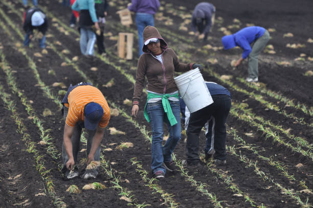 Mexican Farmworkers Planting Onions Mexican farmworkers plant onions by hand in the Spring in Upstate New York. farm worker stock pictures, royalty-free photos & images