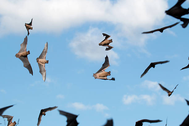 Mexican free-tailed bats take flight stock photo