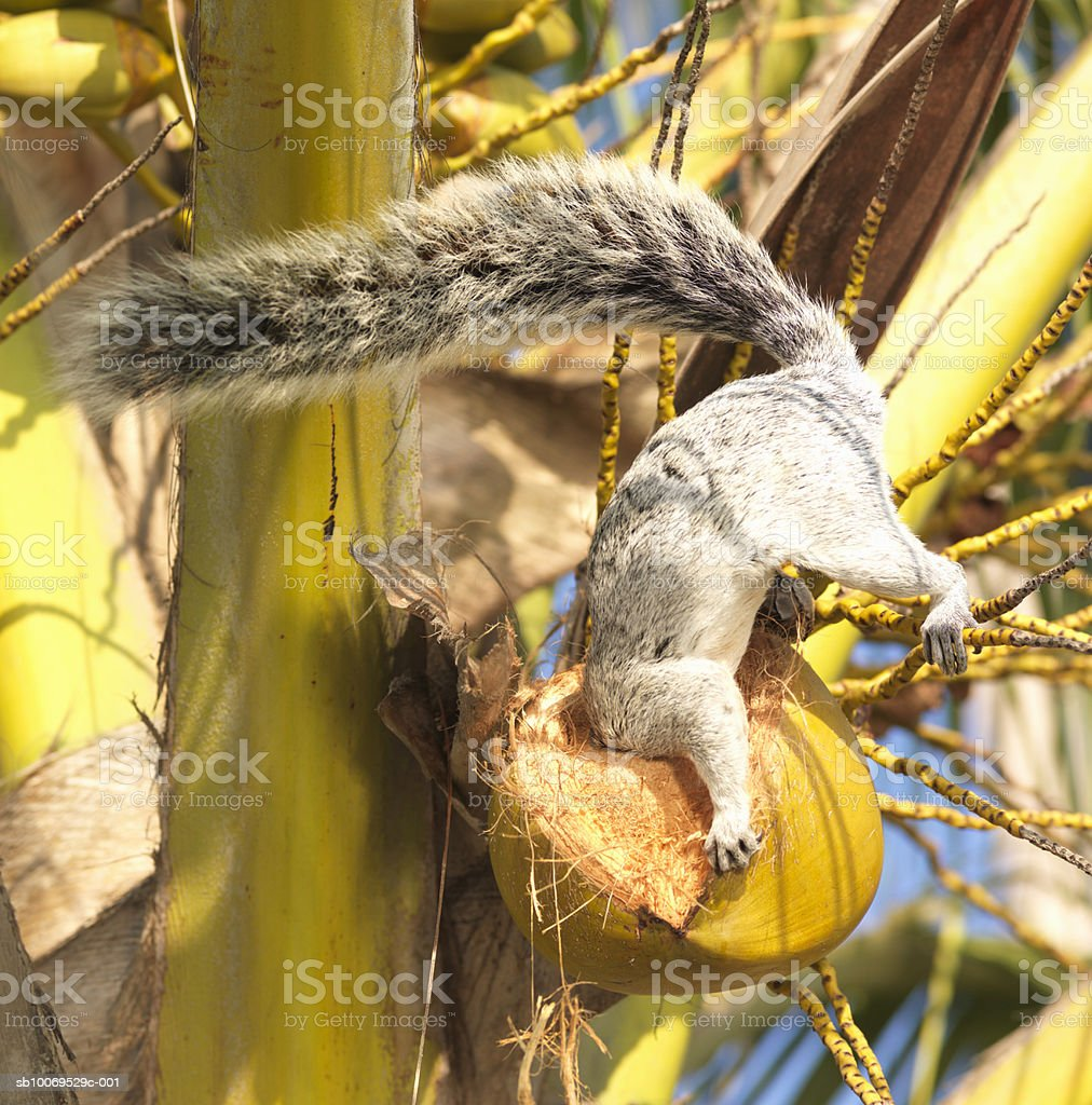 Mexican Gray Squirrel (Sciurus aureogaster) eating coconut 免版稅 stock photo