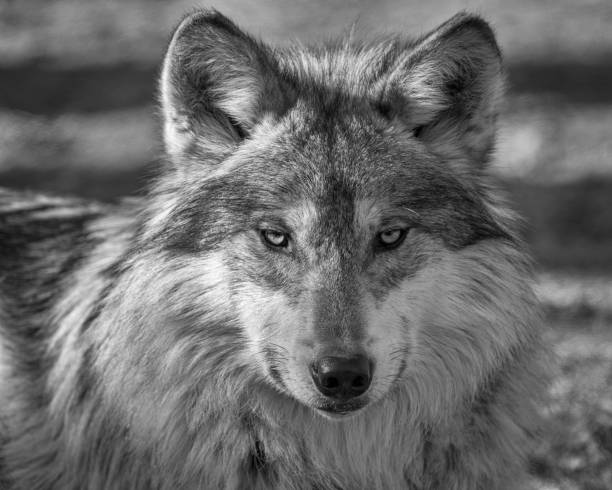 Best black and white wolf stock photos pictures royalty free