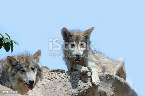 istock Mexican gray wolf resting in a bush 1299396931