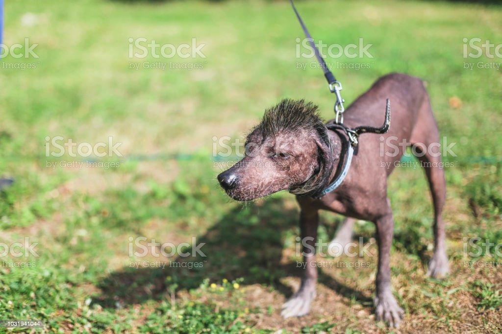 Mexican Hairless Dog Xoloitzcuintli Pet With An Iroquois Haircut