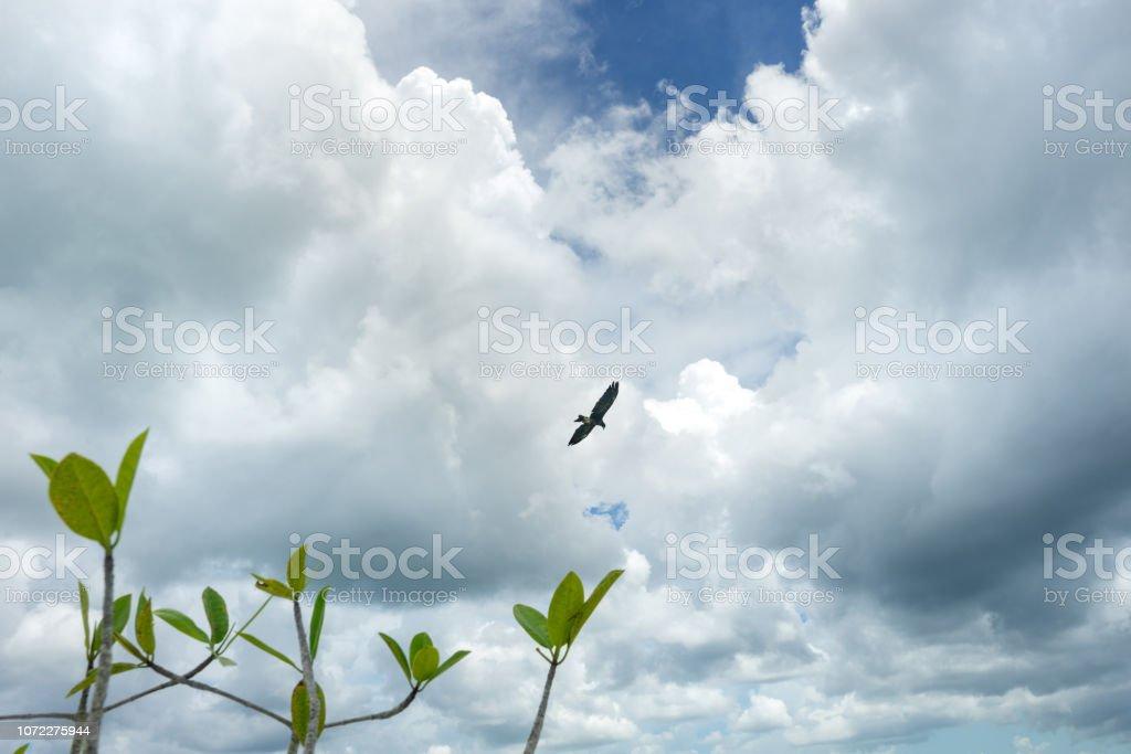 Halcón mexicano volando - foto de stock