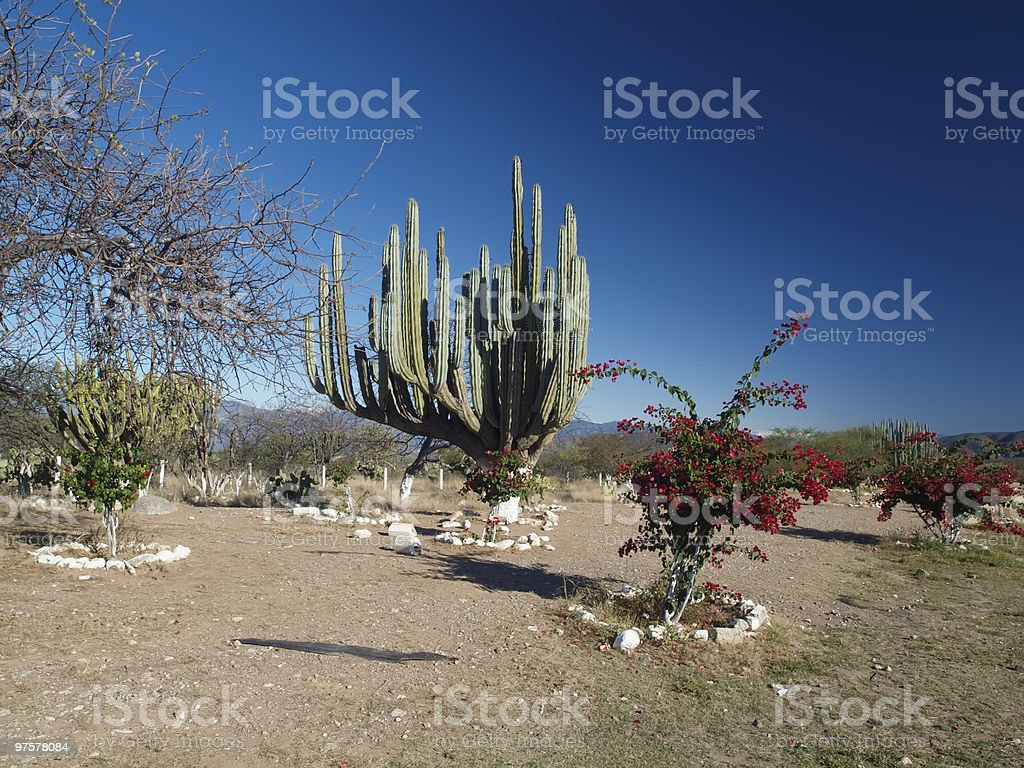 Mexican landscape with cacti royalty-free stock photo
