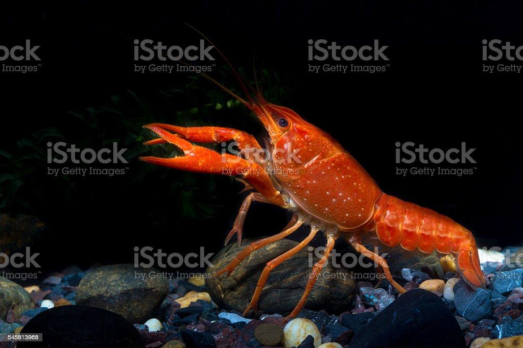 Mexican Orange Crayfish stock photo
