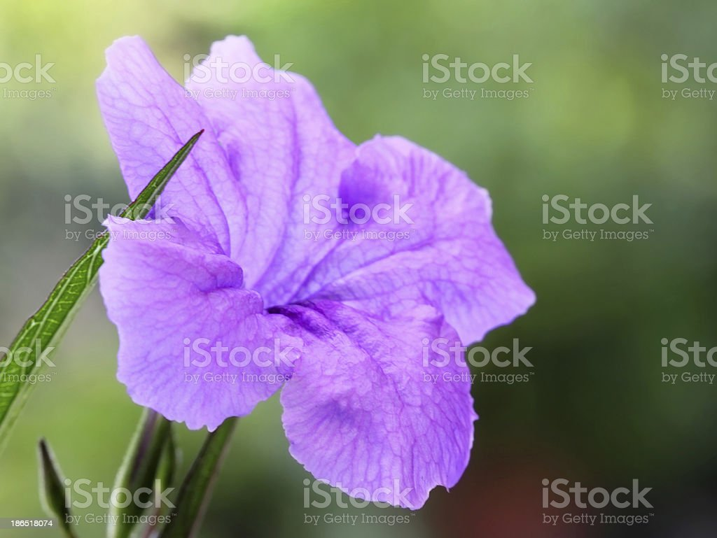Mexican petunia royalty-free stock photo