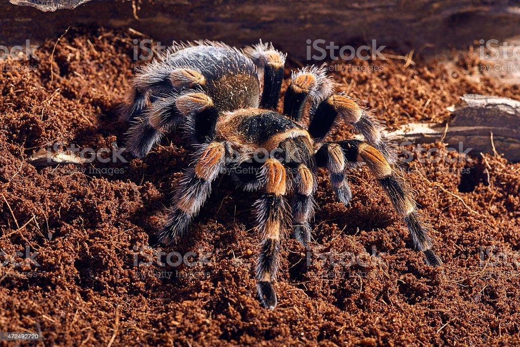 Mexican red knee tarantula stock photo