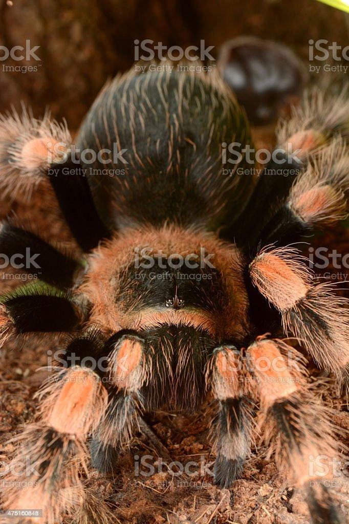 Mexican red knee tarantula (Brachypelma smithi) stock photo