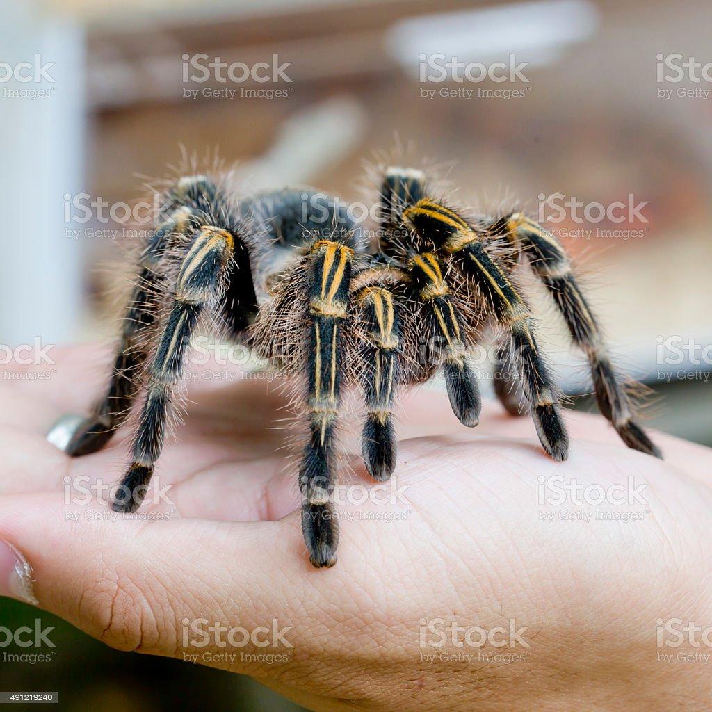 Mexican redknee tarantula (Brachypelma smithi), spider female in human hand stock photo
