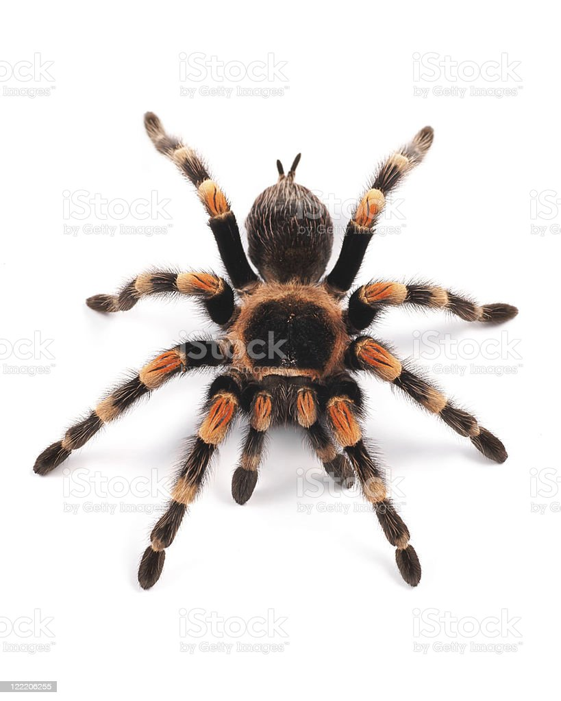 Mexican redknee tarantula (Brachypelma smithi), spider female stock photo