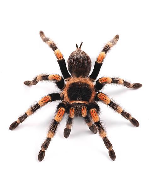 mygale mexicaine (brachypelma smithi), spider femme - araignée photos et images de collection