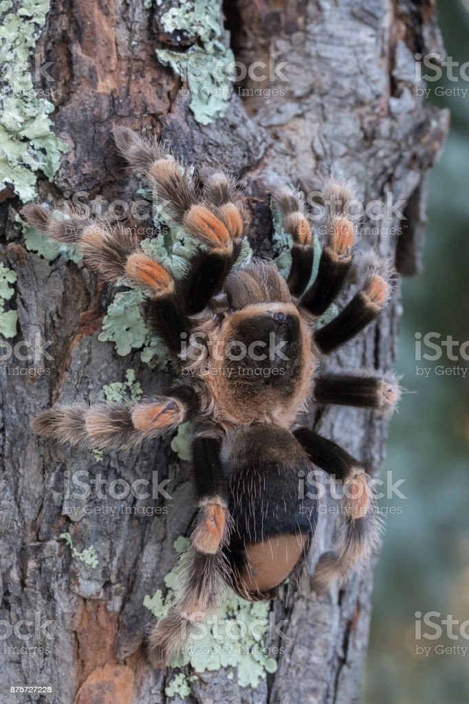 Mexican Redknee Tarantula with Bald Back From Flicking Hairs stock photo