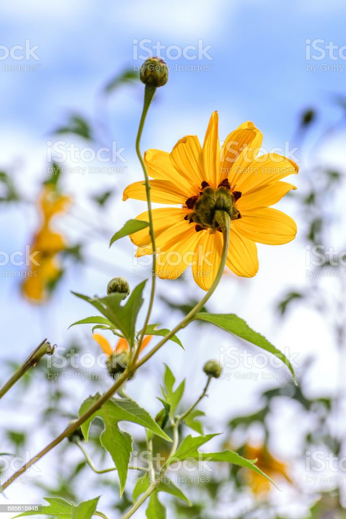 Mexican sunflower or Japanese sunflower blooming against blue sky. royalty-free 스톡 사진