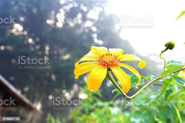 Photo of mexican sunflower