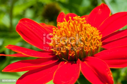 Red sunflower or Mexican sunflower.Red sunflower or Mexican sunflower.