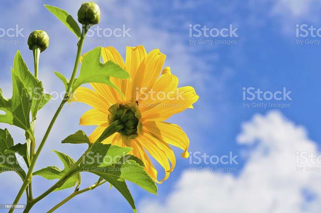Mexican Sunflower Weed. Bright yellow flowers royalty-free stock photo