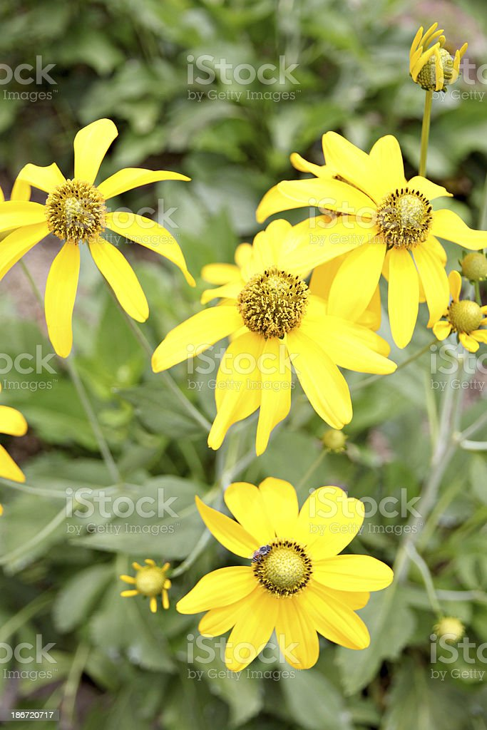 mexican sunflower weed in the Backyard. royalty-free stock photo
