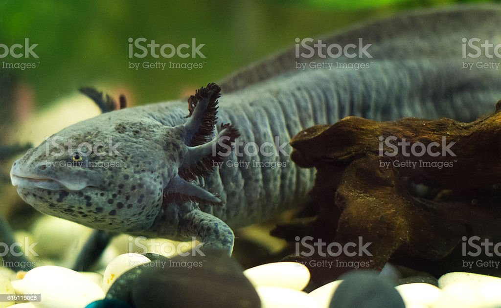 Mexican walking fish in water tank. Axolotl. - foto de stock